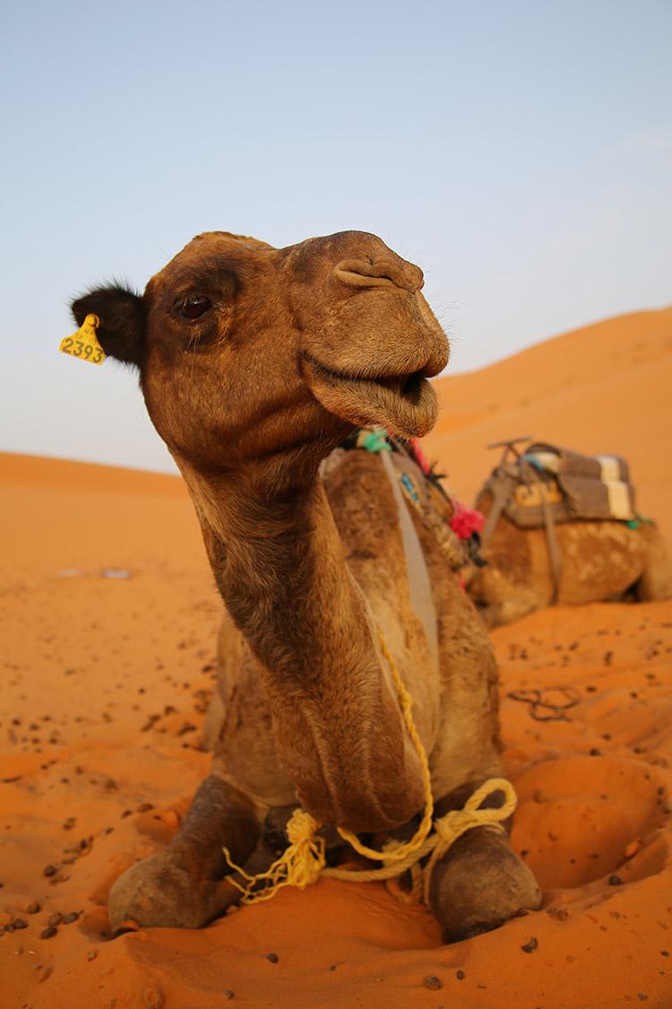 サハラ砂漠ラクダ
