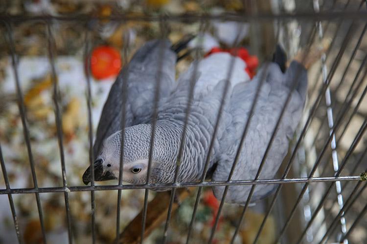 旧市街で飼われていた綺麗な鳥