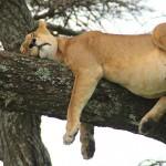 サファリ中日、奇跡の木登りライオン