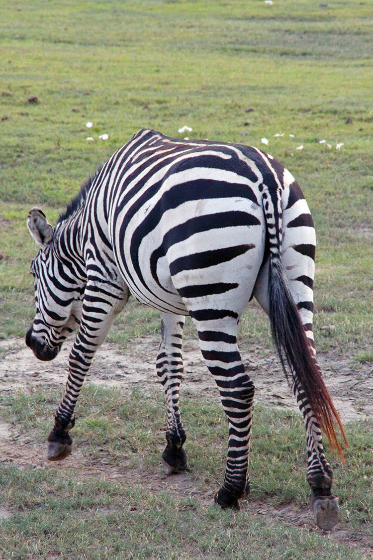 タンザニア サファリ ンゴロンゴロ