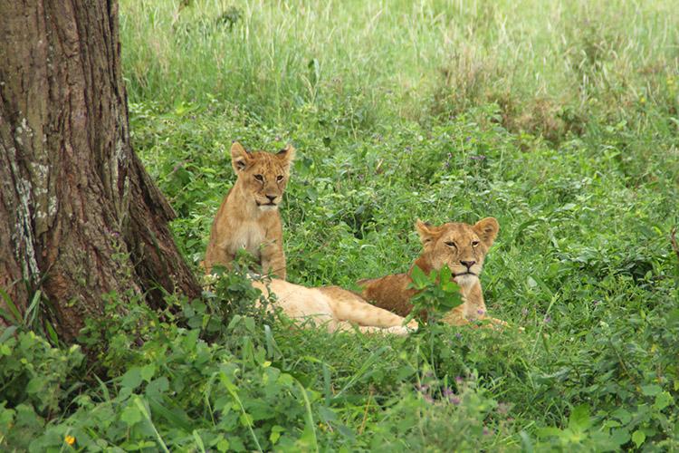 タンザニア サファリ セレンゲティ 木登りライオン
