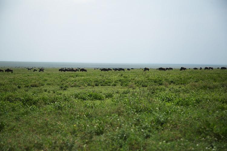 タンザニア サファリ セレンゲティ ヌーの大移動