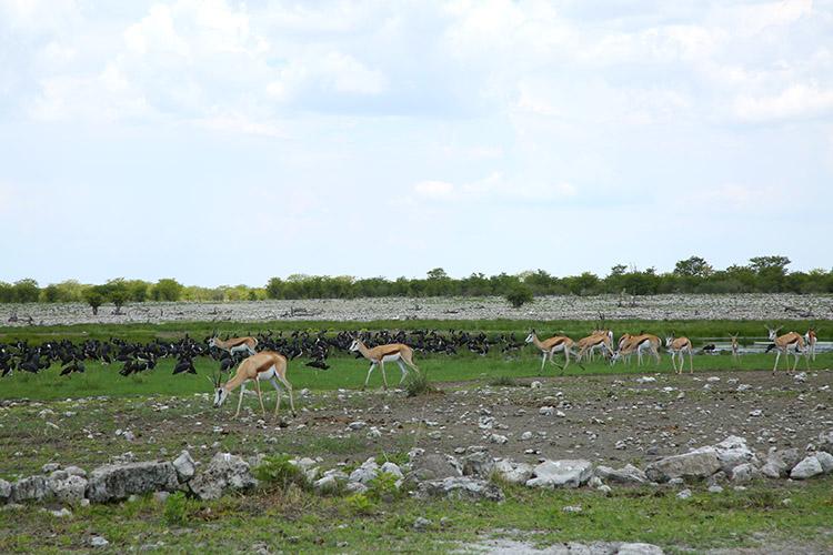 エトシャ国立公園 角 動物 ガゼル