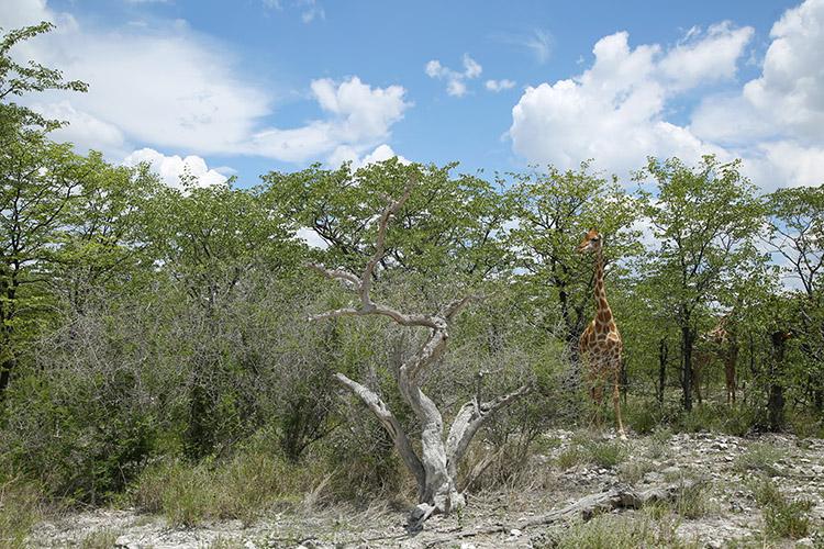 エトシャ国立公園 キリン