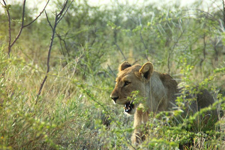 エトシャ国立公園 サファリ ライオン