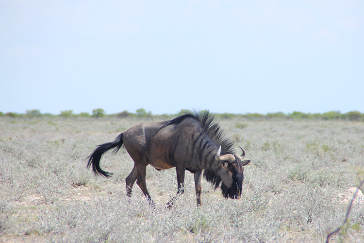 エトシャ国立公園 サファリ ヌー