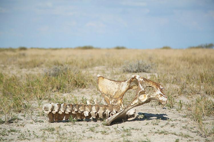 エトシャ国立公園 動物の骨