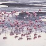 砂漠を舞うフラミンゴ