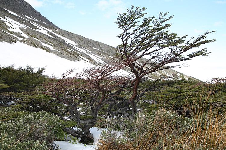 ウシュアイア フラッグツリー