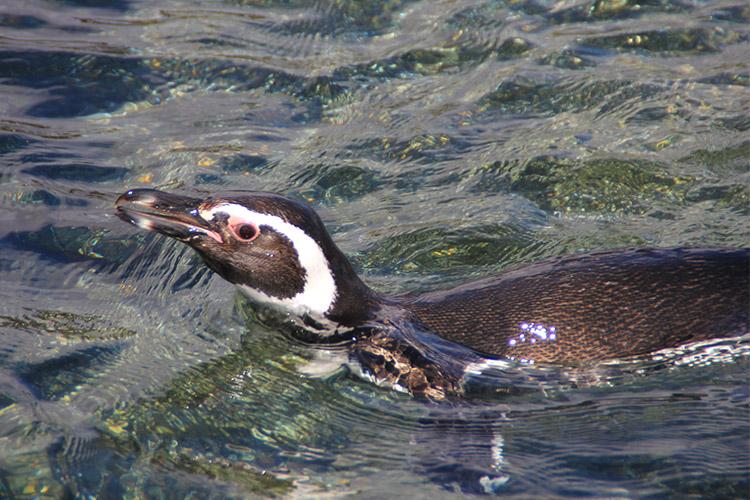 ペンギン ビーグル水道