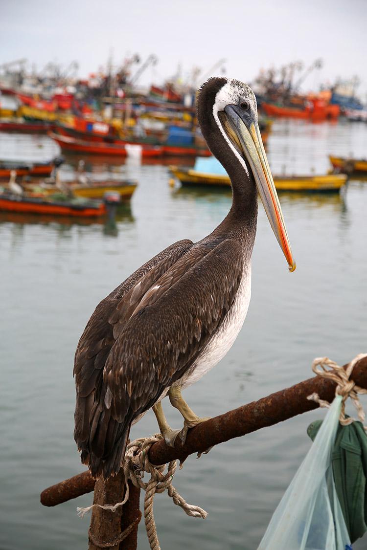 アリカ 漁港 ペリカン