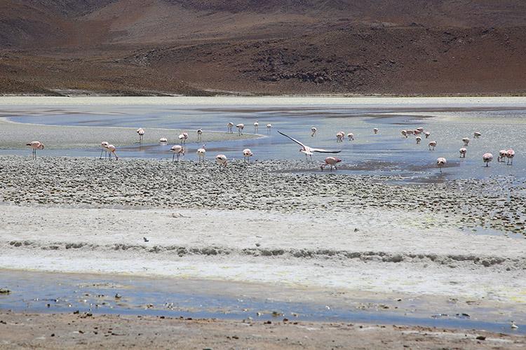ラグナ ツアー 湖 フラミンゴ
