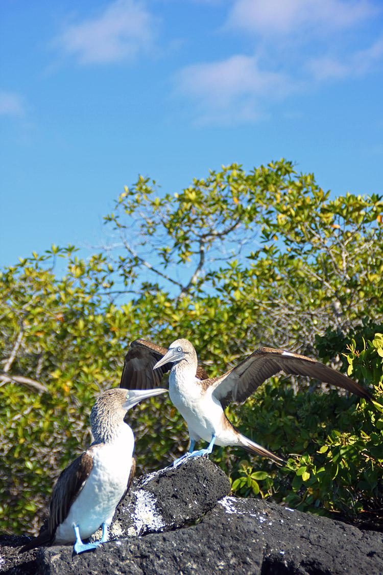 ガラパゴス アオアシカツオドリ