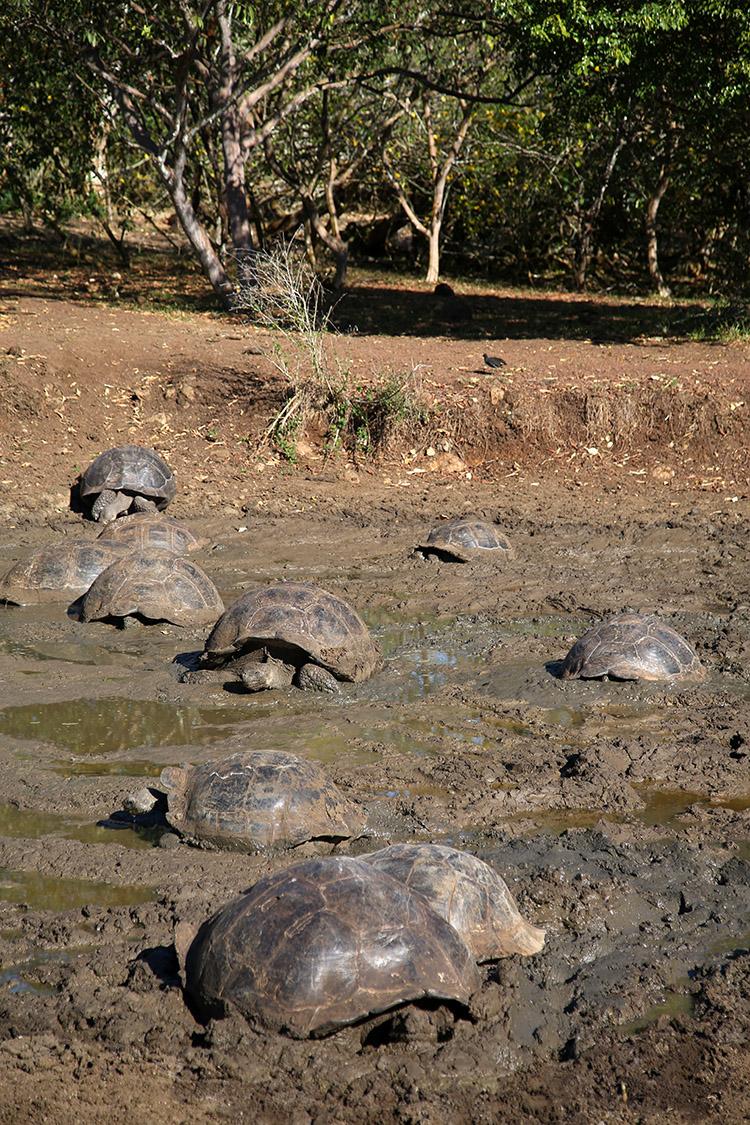 サンタ・クルス島 ガラパゴスゾウガメ 保護区 エルチャト
