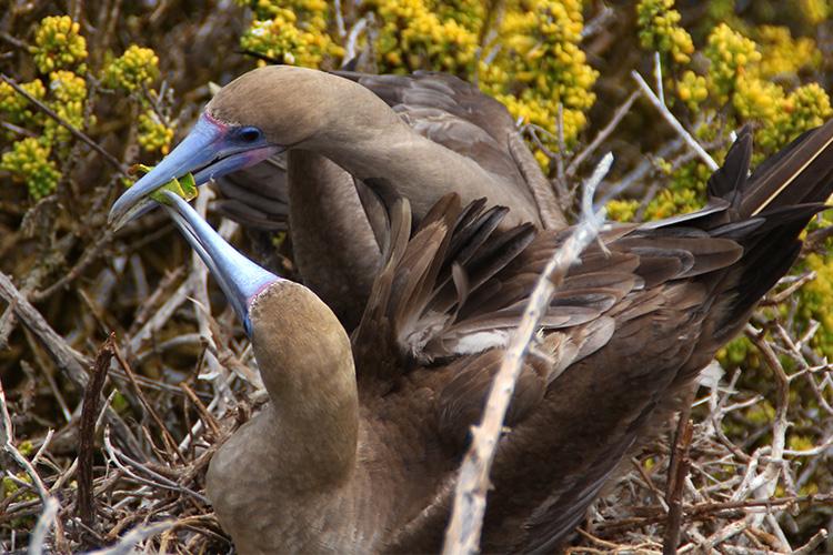 ガラパゴス諸島 サンクリストバル島 プンタピット アカアシカツオドリ