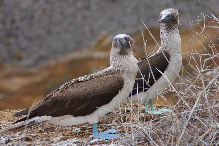ガラパゴス諸島 サンクリストバル島 プンタピット アオアシカツオドリ