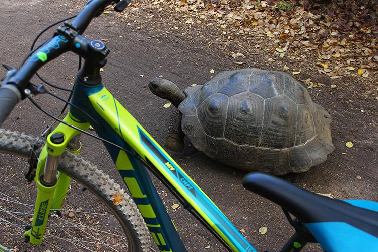 イザベラ島 ガラパゴス サイクリング ゾウガメ