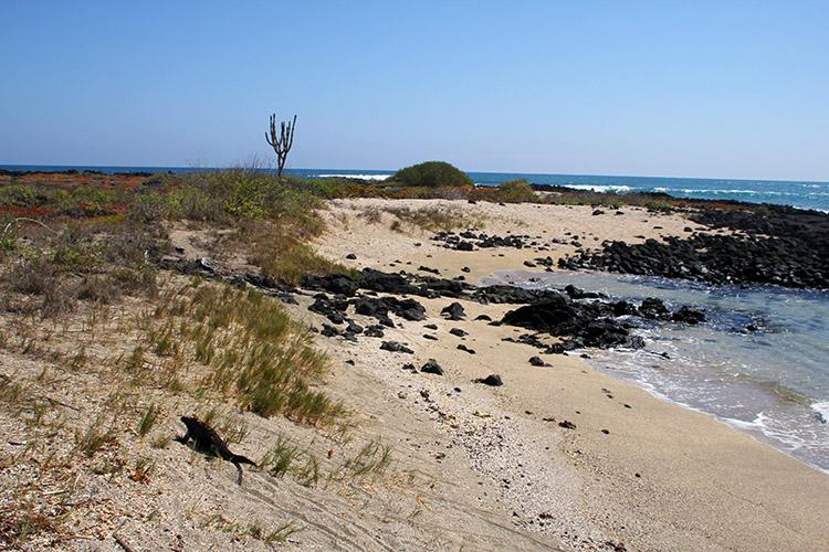 イザベラ島 ガラパゴス イグアナ
