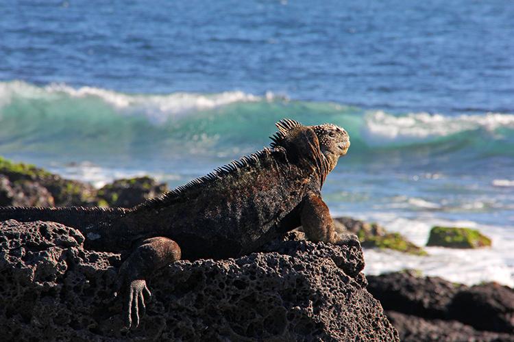 サン・クリストバル島 Las Loberias ウミイグアナ