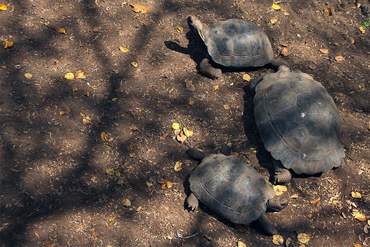 イザベラ島 ガラパゴス サイクリング ゾウガメ保護区