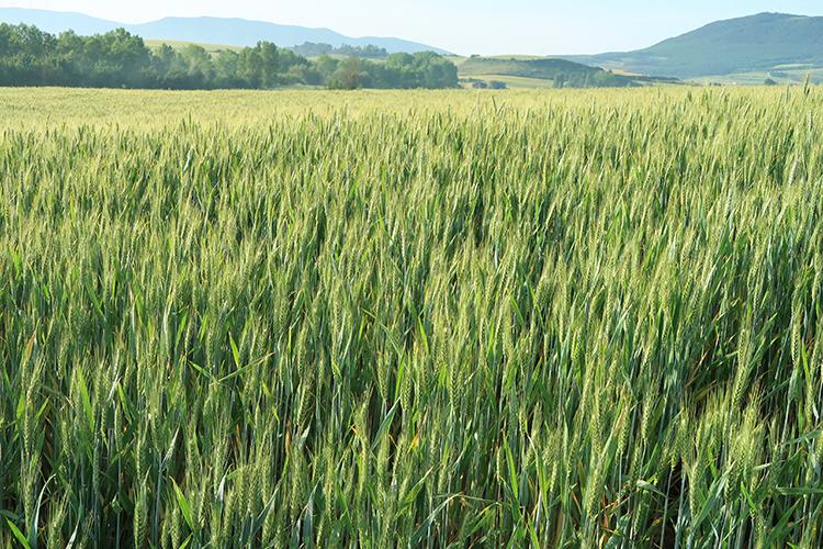 カミーノ スペイン巡礼 麦畑