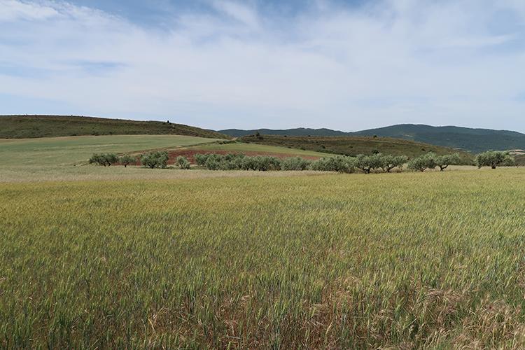 カミーノ ブドウ畑 オリーブ