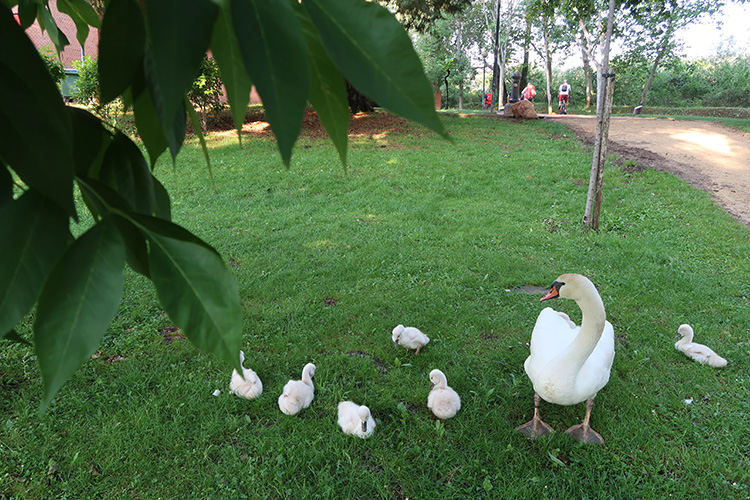 グラヘラ貯水池 カミーノ カフェ 白鳥