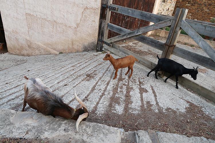 カミーノ ヤギ 動物