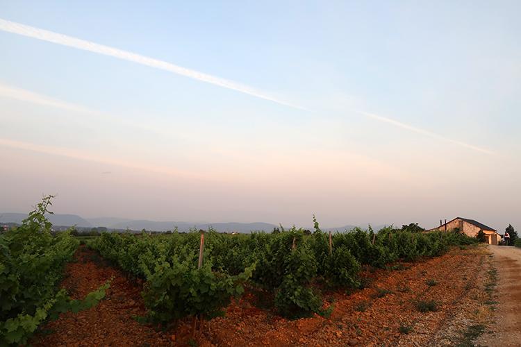 カミーノ スペイン巡礼 道 ぶどう畑