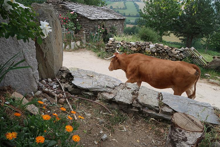 カミーノ 牧牛 牛の大群