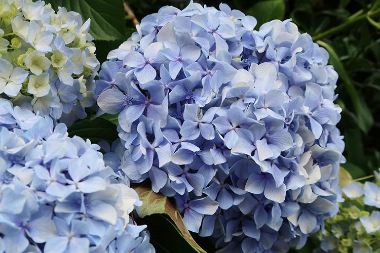 カミーノ 紫陽花 アジサイ 写真